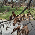 Oak Wilt in our Woods!